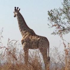 e girafas
